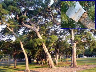 強風によって吹き飛ばされた鉄板が未だに木に巻き付いています(2012年)