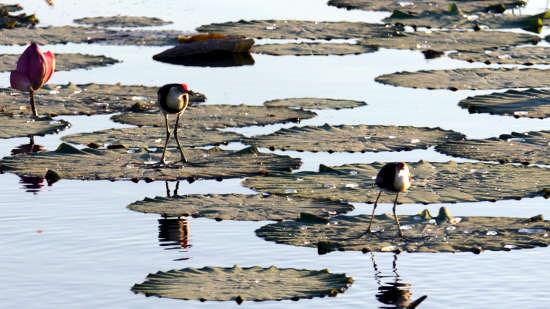 水の上を走ることができる水鳥、jacana