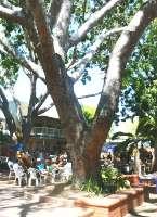 大きな木がナイトクリフマーケットに日陰をもたらしてくれます