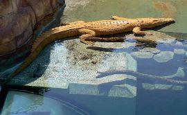クロコサウルスコーヴのクロコダイル